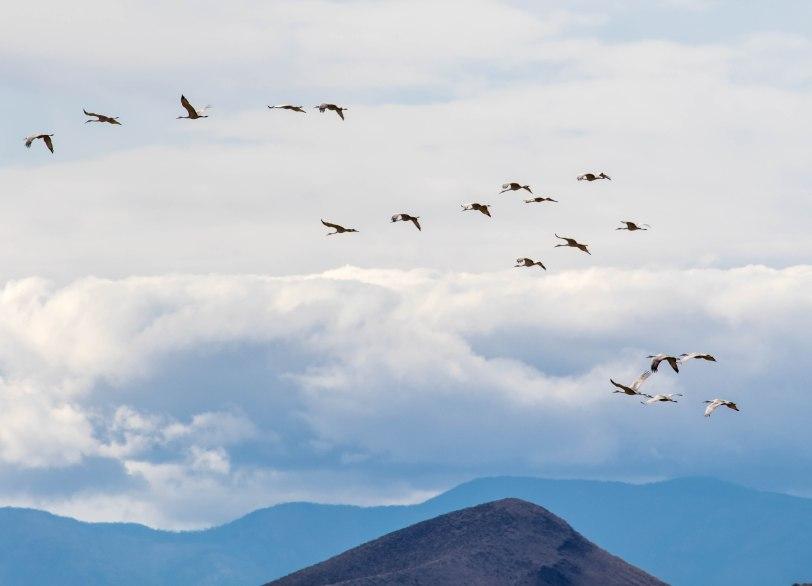 sandhill-cranes-3