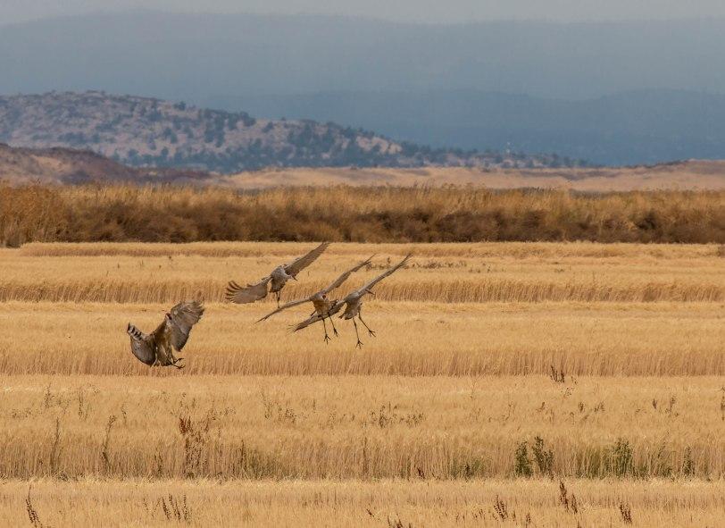 sandhill-cranes-4