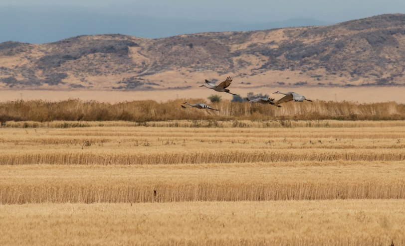 sandhill-cranes-5