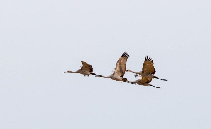 sandhill-cranes-7